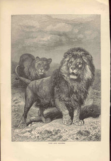 ANTIQUE LYDEKKER ENGRAVING BOOKPLATE 1896 LION