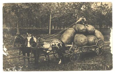 Old 1908 PC Farmer Harvesting Potatoes Horse Wagon Post Card