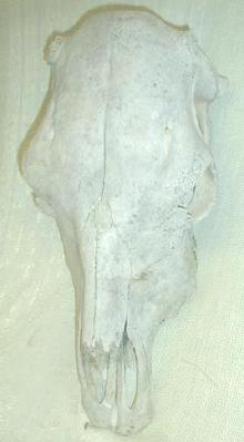 Old Steer Skull Western Americana Decor