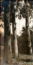 Pictorialist Landscape: California Eucalyptus