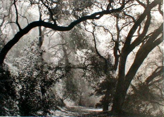 Margaretta Mitchell 'Live Oaks Intertwined'