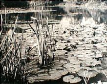 Landscape: 'Lilly Pond' by C.W. Farrow