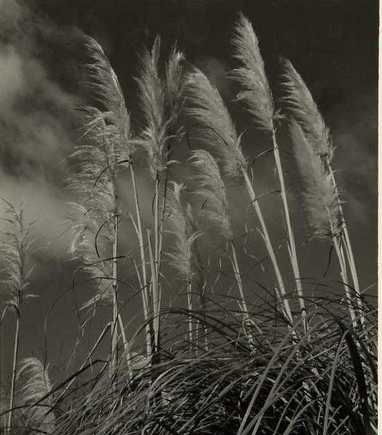 Norman Van Pelt: Pampas Grass
