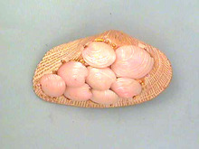 Unusual Capri Pin,Real Sea Shells, Vintage!