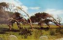 Leaning Trees Gulf Coast Tx. Postcard