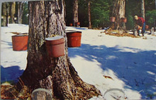 Gathering Maple Sap in Vermont Postcard