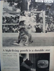 Lassie Is Durable Star Picture & Article 1956