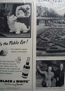 Black & White Whiskey Scottie Public Eye Ad 1951