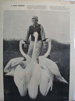 Swans Picture 1961