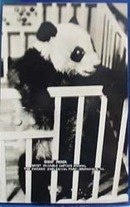Giant Panda Zoological Park Brookfield Ill Postcard