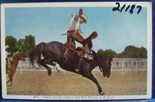 Cowboy Parting Company With Horse Postcard