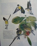 Lawrences Goldfinch or Wild Canaries Pictures 1957