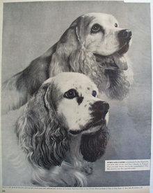 Gaines Dog Food Cocker Spaniels 1956 Ad.