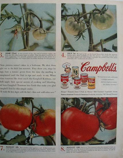Campbell Tomato Birth of A Tomato 1956 Ad