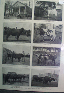 Northern And Southern Cattle 1905 Pictures
