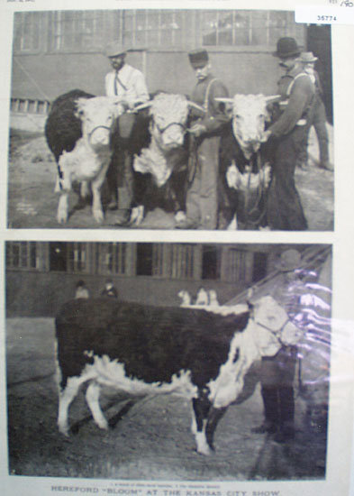 Herford Cattle At Kansas City Show 1902 Picture