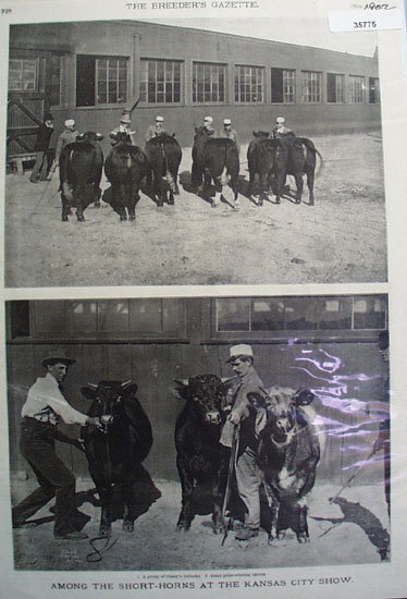Short Horns At Kansas City Cattle Show 1902 Pictures