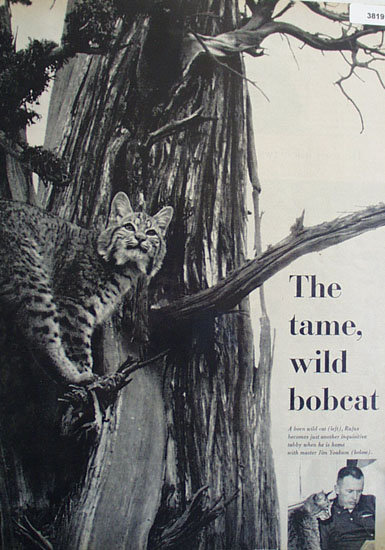 The Tame, Wild Bobcat 1959 Article