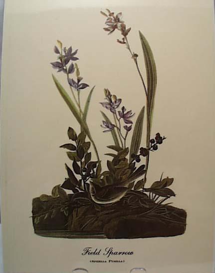 Audubon print field sparrow, spizella pusilla