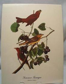 Audubon print Summer Tanager, Tiranga Rubra