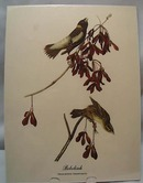 Audubon print Bobolink, Dolichonyx Oryzivorus