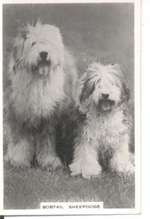Bobtail Sheepdog real photo cigarette card.