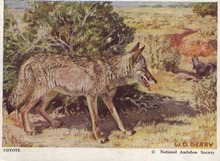 National Audubon Society Mammal Card Coyote