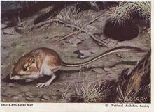 National Audubon Society Mammal Card Rat