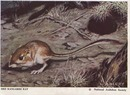 National Audubon Society Mammal Card Rat