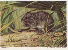 National Audubon Soc Mammal Card Cotton Rat