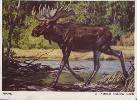 National Audubon Society Mammal Card Moose