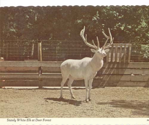 White Elk at Deer Forest,  Michigan Post card