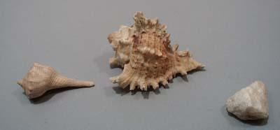 2 sea shells and rock