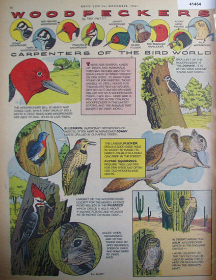 Boys Life Woodpeckers 1961 Article