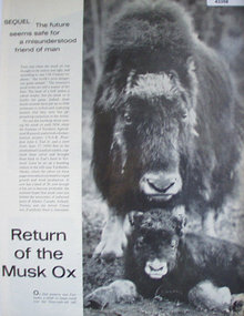 Return Of The Musk Ox 1967 Article