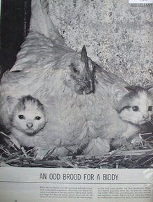 Two Kittens and Hen 1960 Article And Picture