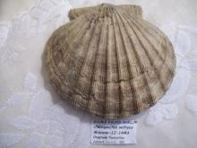 Double Valved Scallop Fossil