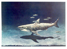Richard Ellis Lithograph, Great White Shark