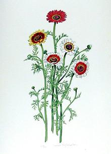 Marian  Sheehan S/N Lithograph, African Daisy