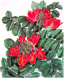 Marian Sheehan Lithograph, African Tulip Tree