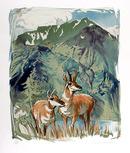 Everett Hibbard S/N Print, Prong Horn Antelope
