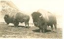 Early 1900's Postcard, Buffalo