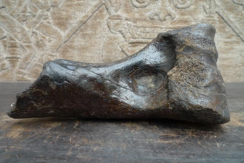 Proximal Left Humerus For BISON Fossil Fossils Glazed Rare Relic Organic Remain