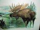 Alaska Moose, Plate 18