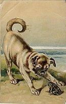 Lovely Pug Dog Playing with Frog 1907 Postcard