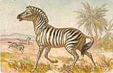 Gorgeous 1910 Zebra Artist Postcard