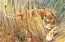 Tucks Oilette Tiger Cat 1906 Postcard