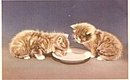 Mainzer Tabby Kittens Lapping Milk Vintage Postcard