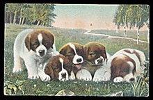 1907 St. Bernard Puppies Sleeping Postcard