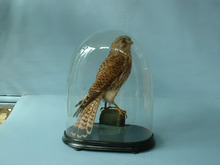 Kestrel under Dome